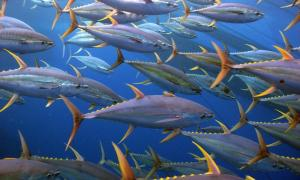 yellowfin_tuna_ISSF_MUIR_IMG_1730