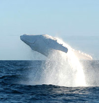 migaloo breaching white whale